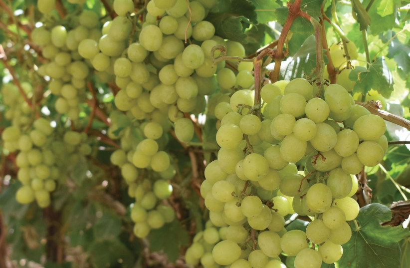 Sweet wine-ripened Tali grapes.  (photo credit: MEITAL SHARABI)