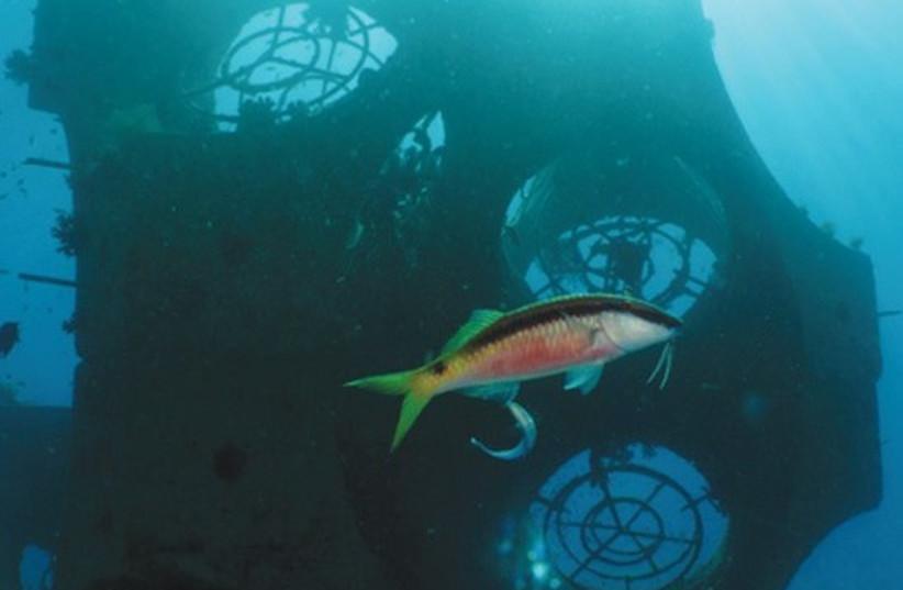 A FISH SWIMS along Tamar, an artificial reef created by Ben-Gurion University, in Eilat. (photo credit: KEREN LEVY)