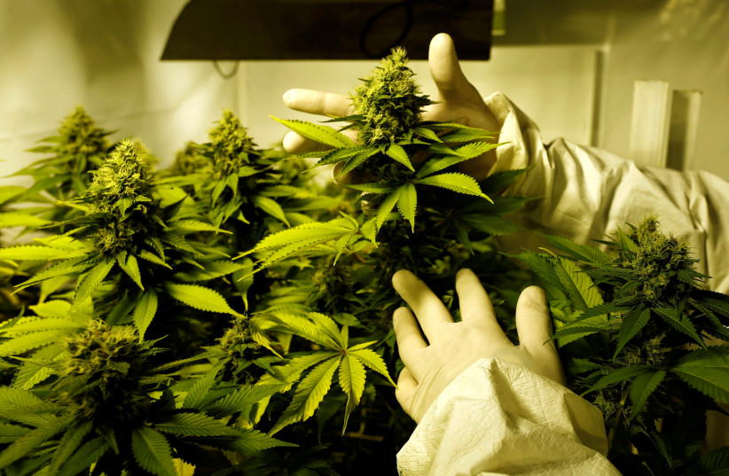 Marijuana plants (photo credit: REUTERS)