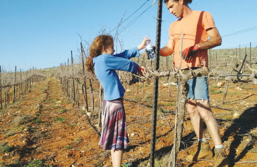 Tzvika Struk pruning his vines with his daughter, Kinneret. (photo credit: Courtesy)