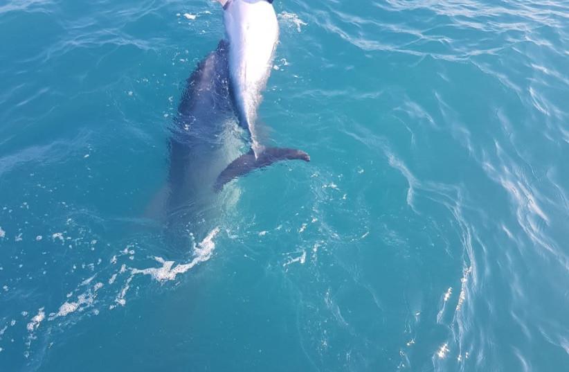 WATCH: rarely seen Dolphin behavior spotted off Israeli coast