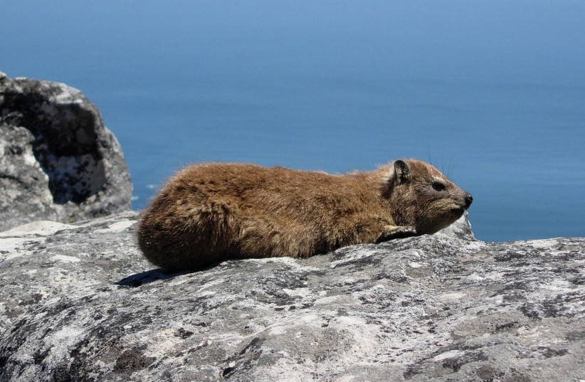 Dassie (Cape Hyrax) photgraphed on Table Mountain, Cape Town in February 2005 by Anthony Steele. The photo was taken on the rocks near the upper cable car station. The sea is visible in the background. (photo credit: Wikimedia Commons)