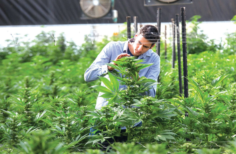 THE BREATH OF LIFE Pharma facility in central Israel may very well be the largest medical cannabis operation in the world – with a 3,250-sq.m. production plant, 2,790 sq.m. of grow rooms and labs, and 93,000 sq.m. of cultivation fields. (photo credit: BREATH OF LIFE PHARMA)