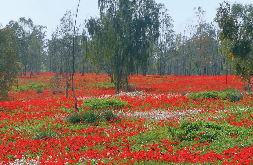 No rain, no flowers: A red carpet of anemones in the Negev's Shokeda Forest. (photo credit: WIKIMEDIA COMMONS/ZACHI EVENOR)
