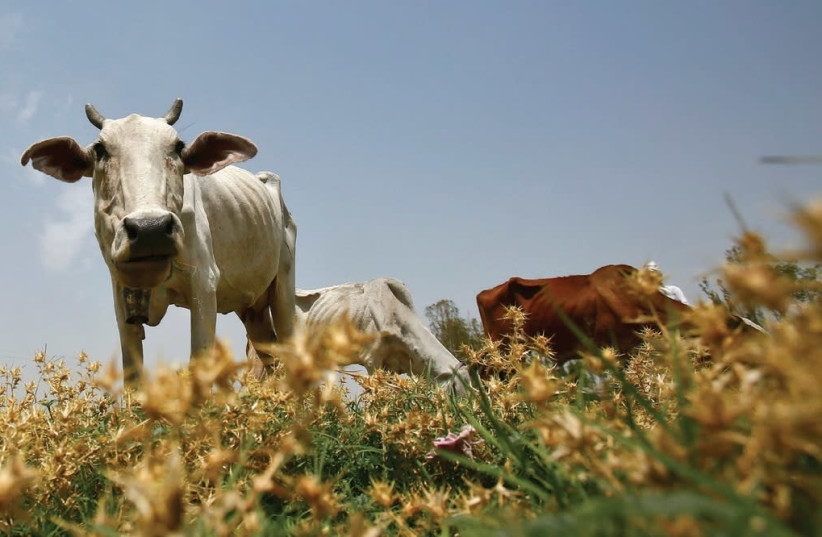 A DAIRY COW grazes in a field in the northern Indian state of Haryana. (photo credit: REUTERS)