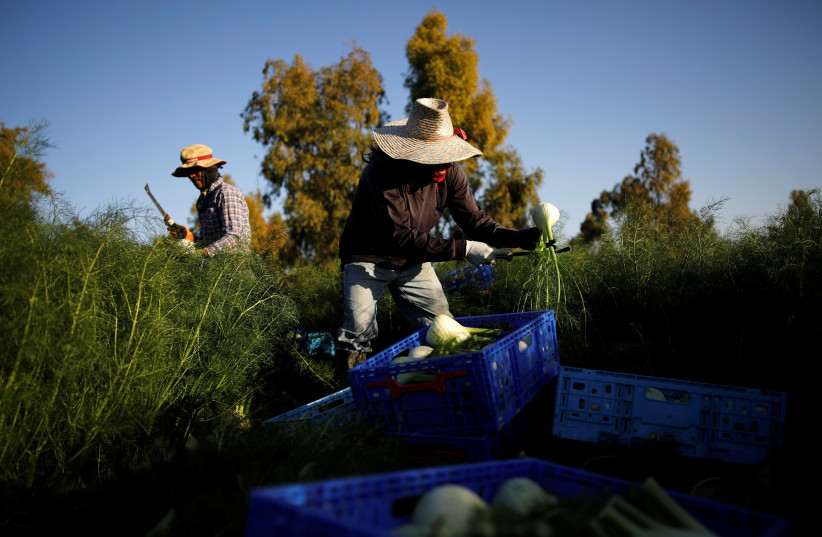 Thai workers collect freshly harvested fennel near Kibbutz Alumim in southern Israel (photo credit: AMIR COHEN - REUTERS)