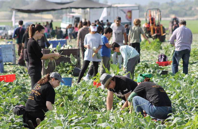 Leket Volunteers Picking Produce for the Needy (photo credit: COURTESY LEKET ISRAEL)