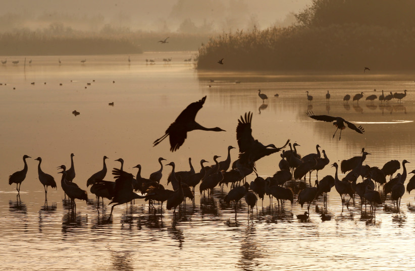 Migrating cranes rest on the Hula Lake Ornithology and Nature Park in northern Israel (photo credit: BAZ RATNER/REUTERS)