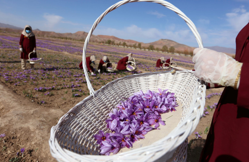 Afghan women collect saffron flowers in the Karukh district of Herat, Afghanistan, November 5, 2016. Picture taken November 5, 2016.  (photo credit: REUTERS/ MOHAMMAD SHOIB)