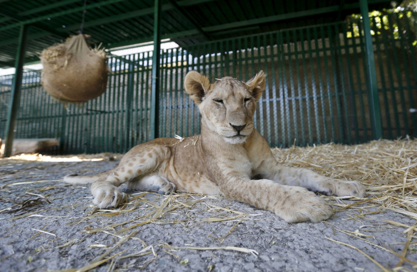 A lion cub from a zoo in Gaza in its new home in Amman, July 2015 (photo credit: MUHAMMAD HAMED / REUTERS)
