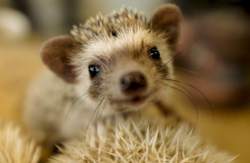 Hedgehog (photo credit: THOMAS PETER/REUTERS)