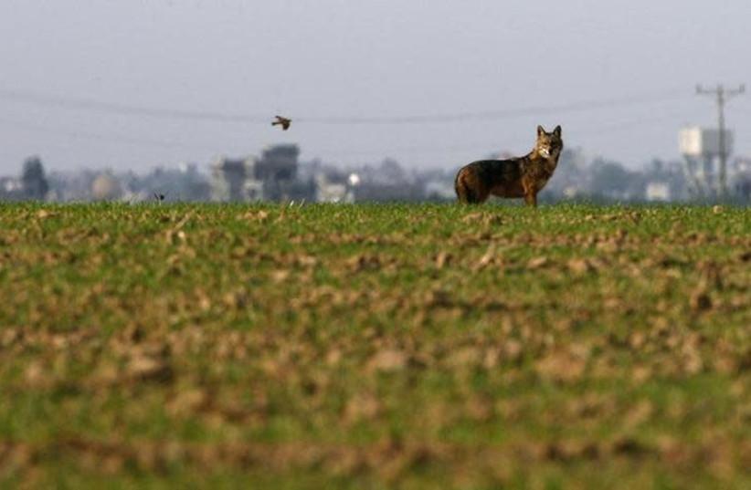 A jackal stands in a field near Kibbutz Ein Hashlosha, just outside the southern Gaza Strip. (photo credit: AMIR COHEN/REUTERS)