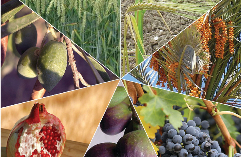 The Seven Species, whose fruits are traditionally eaten on Tu Bishvat (photo credit: Wikimedia Commons)