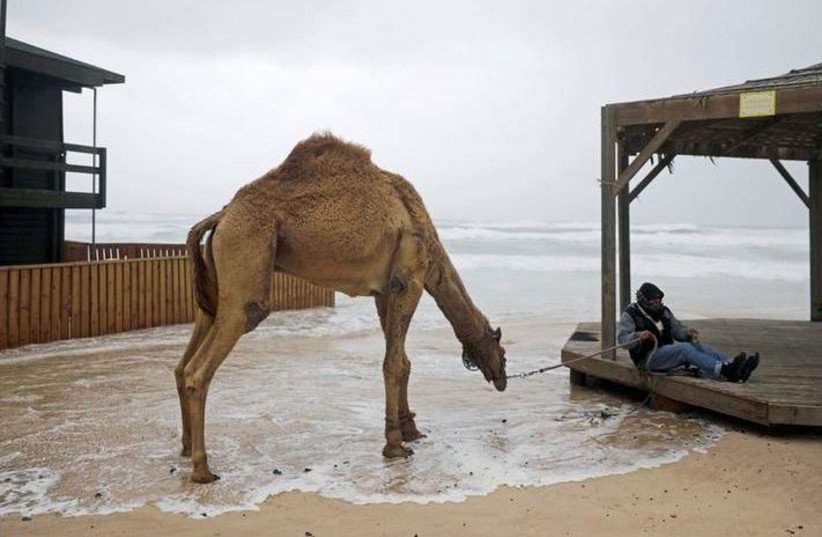 A Bedouin rests with his camel in Zikim beach, on the Mediterranean coast near the southern city of Ashkelon, Israel. REUTERS/Amir Cohen (photo credit: REUTERS/AMIR COHEN)