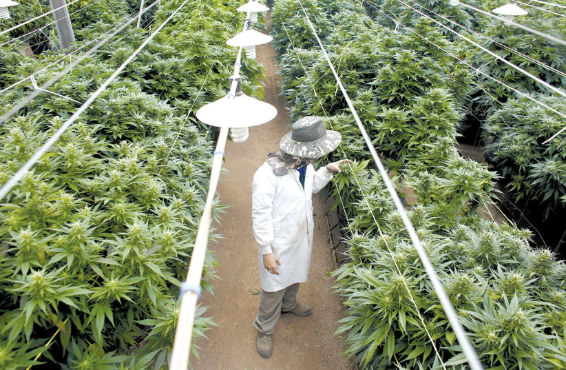 AN EMPLOYEE checks on cannabis plants at a medical-marijuana plantation in the North last year. (photo credit: NIR ELIAS / REUTERS)