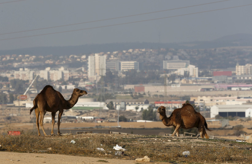 Camels roam in an unrecognized Beduin village, as the southern Israeli city of Beersheba is seen in the background December 17, 2015. (photo credit: AMIR COHEN/REUTERS)