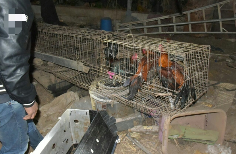 Roosters i a Thai cockfight stopped in central Israel (photo credit: POLICE SPOKESPERSON'S UNIT)
