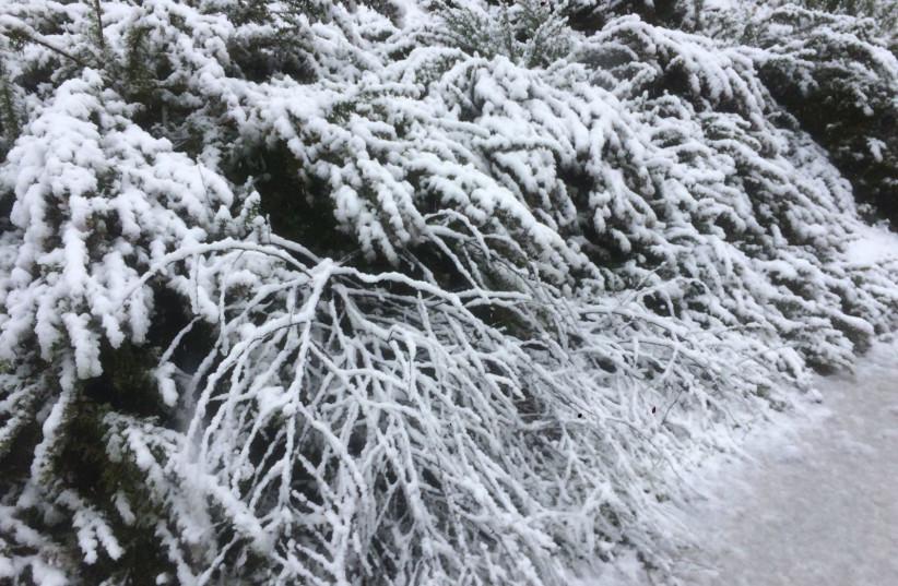Snow in the Biriya Forest (KKL) (photo credit: KKL)