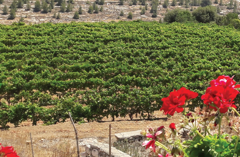 The Cremisan Winery vineyard where the Hamdani, Jandali and Dabouki varieties are grown. (photo credit: Courtesy)
