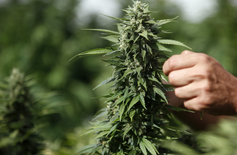 A worker touches a cannabis plant at a growing facility for the Tikun Olam company near the northern city of Safed (photo credit: REUTERS/NIR ELIAS)