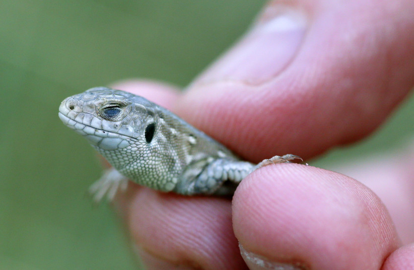 A volunteer holds a Sand Lizard prior to its release into the wild in sand dunes near Talacre, north Wales September 10, 2013. The lizard, one of Britain's rarest species of reptile is being released along with 400 others at seven sites across England and Wales this week as part of a long term conse (photo credit: PHIL NOBLE/REUTERS)