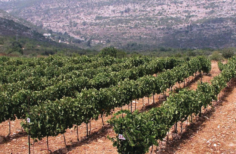 The Tzora vineyards in the Judean Hills grow one of Israel's best Sauvignon Blancs (photo credit: Courtesy)