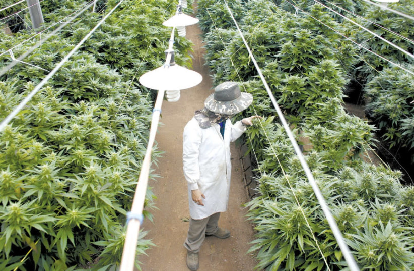 A man examines cannabis plants, grown in Israel for medical marijuana use. (photo credit: REUTERS)