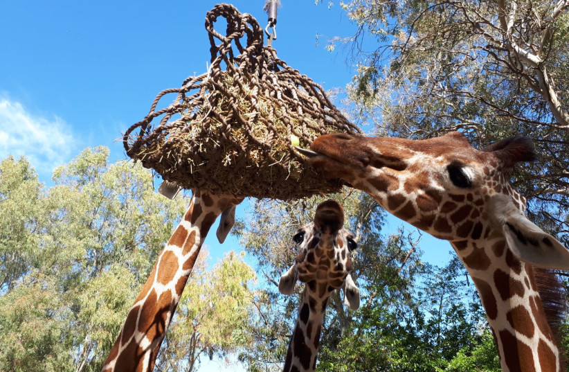 Giraffes enjoying special treat for Purim  (photo credit: RAMAT GAN SAFARI)