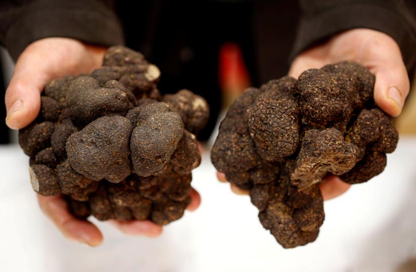 Truffle farmer holds a Black truffles (Truffes du Perigord) at a truffle market in Sainte-Alvere, France (photo credit: REUTERS/REGIS DUVIGNAU)