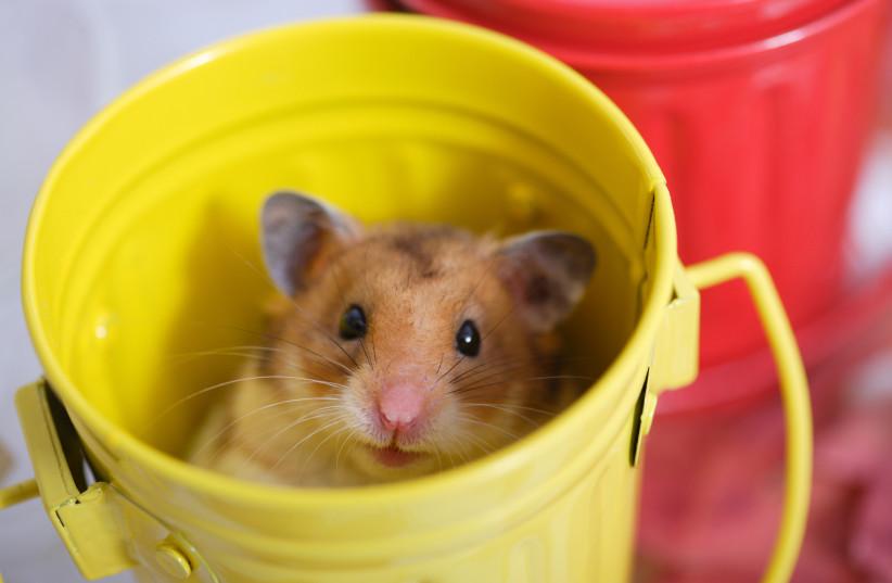 A mouse, illustrative image. (photo credit: INGIMAGE)