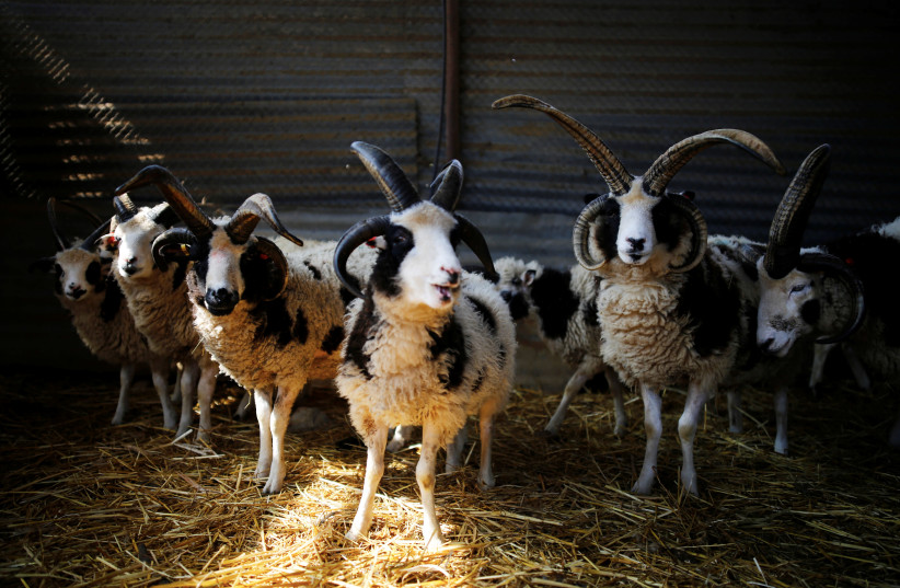 Jacob sheep stand in their barn in Ramot Naftali, Israel, February 21, 2018. (photo credit: REUTERS/AMIR COHEN)