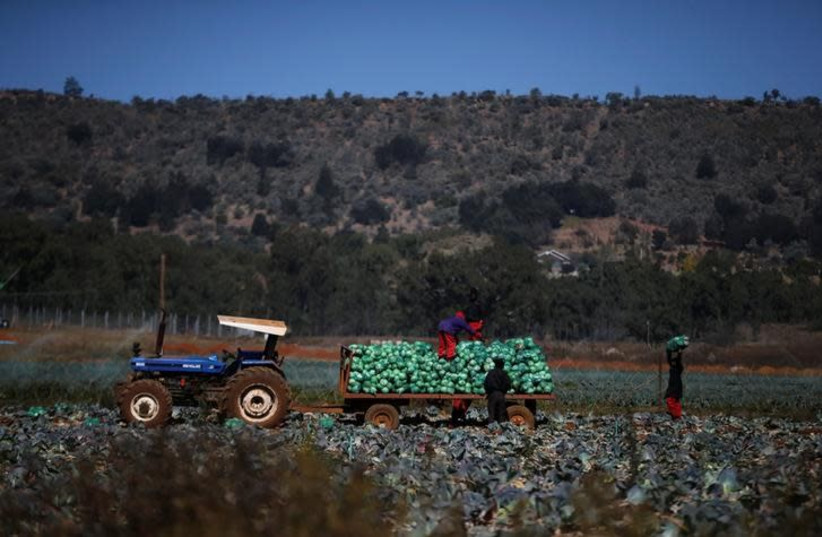 Farm workers harvest cabbages at a farm in Eikenhof, south of Johannesburg, South Africa, June 8, 2017 (photo credit: SIPHIWE SIBEKO/REUTERS)