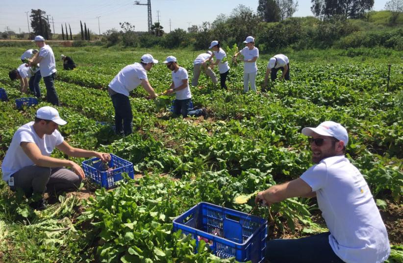 Leket Israel volunteers gather food. (photo credit: COURTESY LEKET ISRAEL)