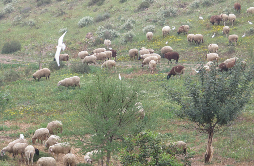 A local Bedouin flock grazes in the Israel-China Friendship Forest in the Negev (photo credit: YOAV DEVIR KKL-JNF)