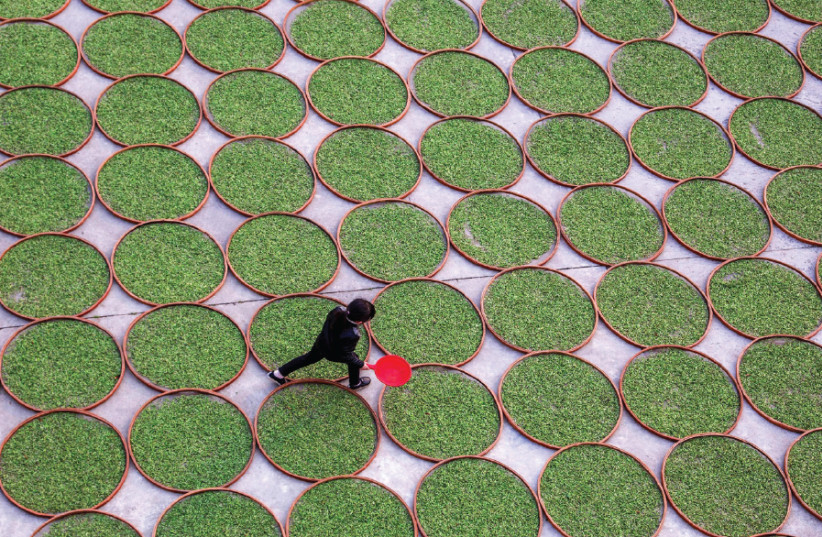 A WOMAN walks in a yard where tea leaves are dried at a tea company in Dening, Fujian Province, China, in 2016 (photo credit: REUTERS)