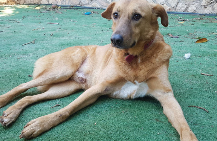Jerusalem Loves Animals is seeking good homes for a number of dogs, including: The four-and-a- half-year-old Niko, who was was abandoned by his owners (photo credit: JERUSALEM LOVES ANIMALS)