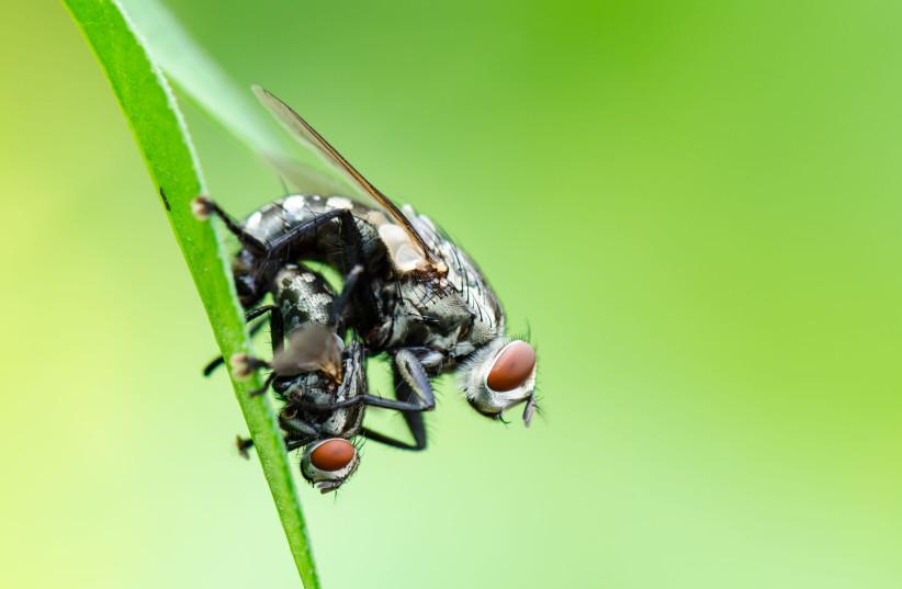 Flies mating (illustrative) (photo credit: INGIMAGE)