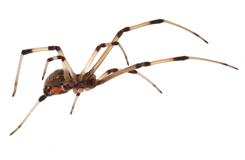 A brown widow spider (photo credit: MATTHEW FIELD/WIKIMEDIA COMMONS)