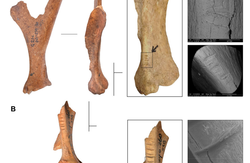 Photographs of deer bones found in a cave in the Galilee (photo credit: COURTESY HEBREW UNIVERSITY)
