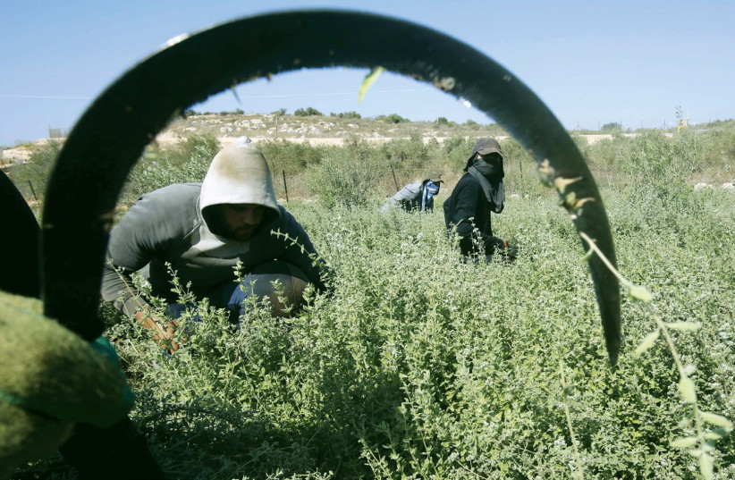 PALESTINIAN FARMWORKERS at a farm in the West Bank. (photo credit: REUTERS)