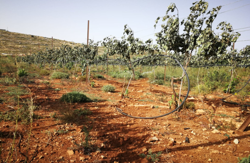 Vineyards in the area of Shiloh that settlers say were vandalized by Palestinians (photo credit: YESH DIN)
