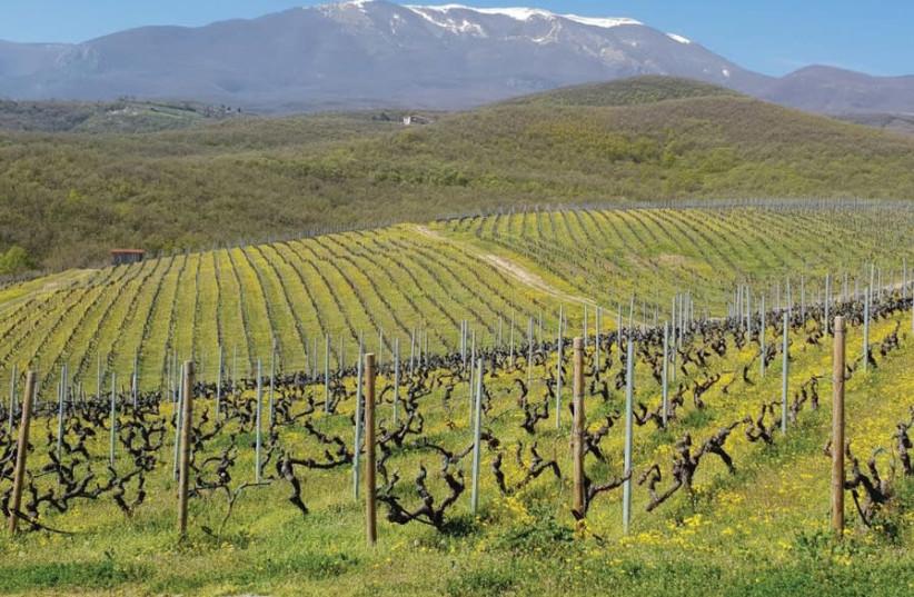 THE BEAUTIFUL vineyard at Kir-Yianni (photo credit: DAPHNA STERNFELD)