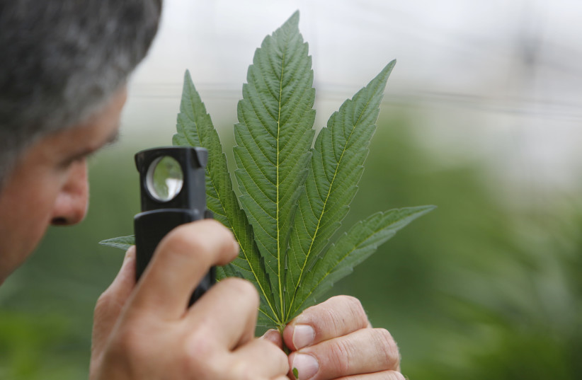 An employee inspects the leaf of a cannabis plant at a medical marijuana plantation in northern Israel. (photo credit: NIR ELIAS / REUTERS)
