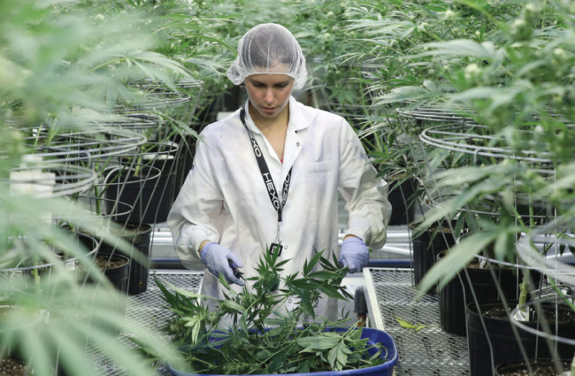 COLLECTING CUTTINGS from cannabis plants at Hexo Corp's facilities in Gatineau, Quebec, Canada, on September 26 (photo credit: REUTERS)