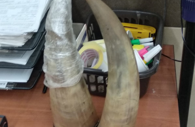 Two elephant ivories retrieved by the Civil Administration at the Allenby Bridge crossing in October 18, 2018 (photo credit: COGAT)