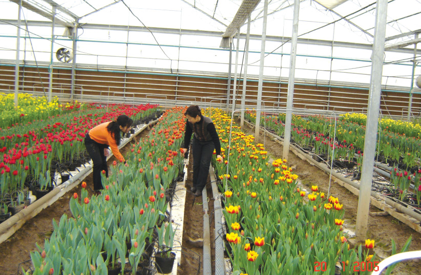 WORKERS AT a Chinese greenhouse seen implmenting tehcniques learned from MASHAV (photo credit: MASHAV)