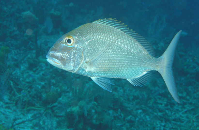 Picture of a Blue Tilapia (photo credit: Courtesy)