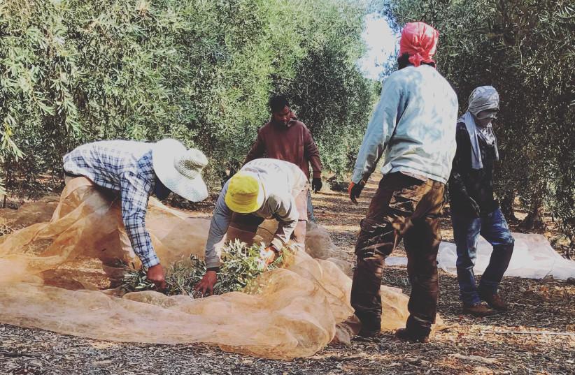 Workers rake up the glorious olive harvest (photo credit: SETH J. FRANTZMAN)