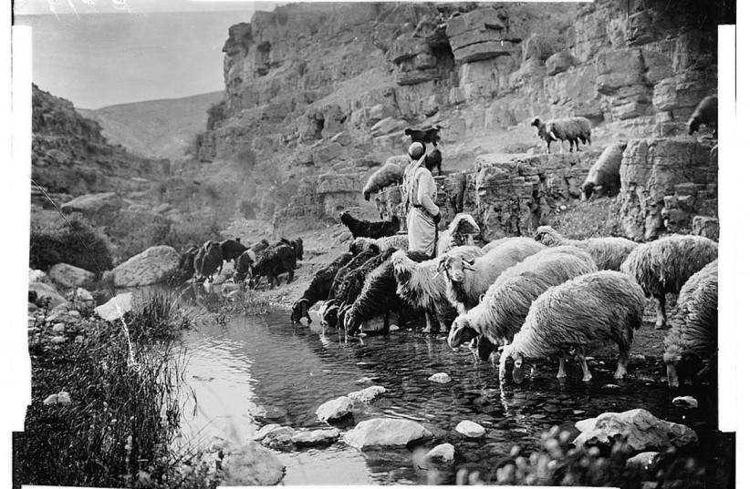 [Like Moses,' 'it is similary told that King David herded his father's flock and was chosen for the monarchy as a result of his compassion for weak sheep.' (photo credit: LIBRARY OF CONGRESS)