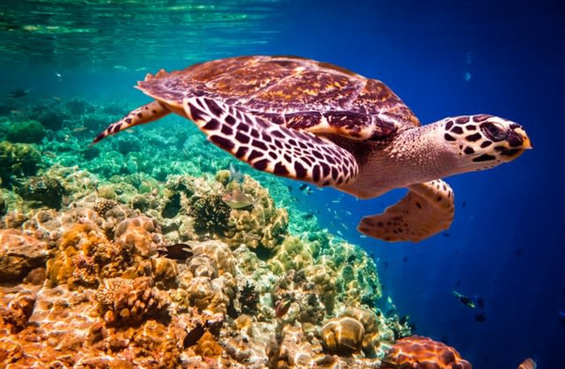 The Hawksbill sea turtle. (photo credit: Courtesy)